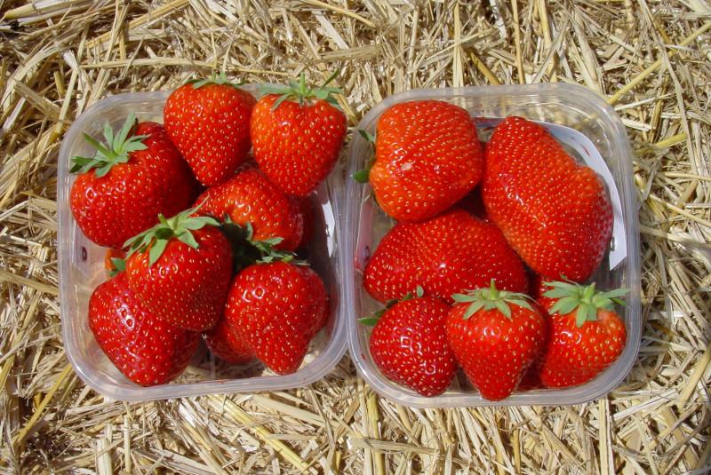 Cristina* - Strawberryplants - Strawberry - Vissers Plant